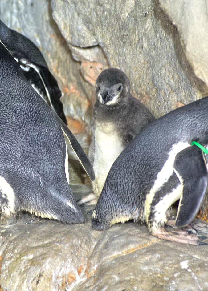 Acquario di Genova Pinguino Magellano